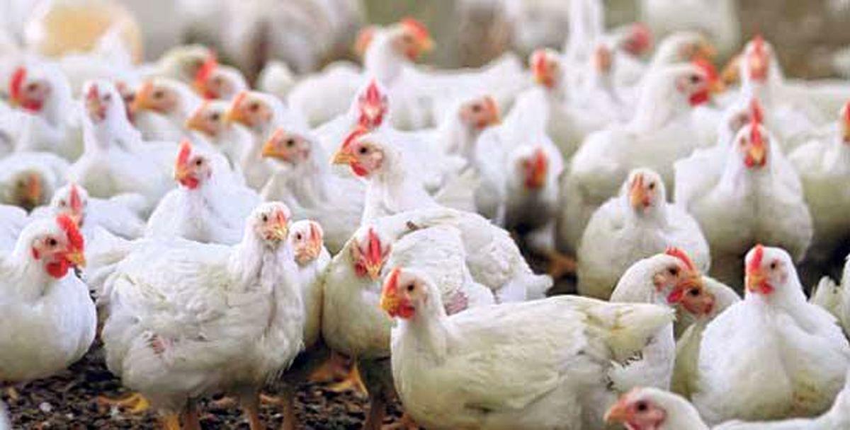 آشفتگی بازار مرغ اینبار به بهانه برف!