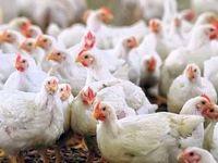 یک میلیون قطعه مرغ آلوده به آنفلوآنزا معدوم شد