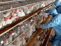 آخرین وضعیت ویروس آنفلوانزای پرندگان قابل انتقال به انسان/ طیور بومی خطرناکتر هستند
