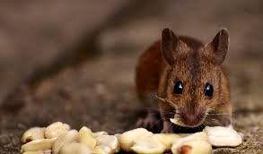 کشف یک شباهت میان انسان و موش!