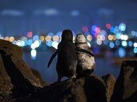 دو پنگوئن همدرد عشقِ از دست رفته! +تصاویر