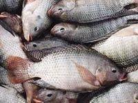 فائو درباره شیوع ویروس مرگبار ماهی تیلاپیا هشدار داد