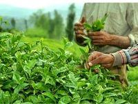 واردات چای ایران از هند افزایش یافت
