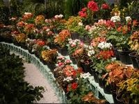 هرج و مرج در حاشیه بازار گل محلاتی/ اینجا قلیان دست مردم میدهند!