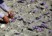 1000 دلار؛ قیمت زعفران ایران در بازار جهانی