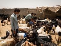 بازار داغ دلالی خرید و فروش مجوز واردات گوشت قرمز/ ابلاغیهای که فساد ایجاد کرد