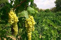 انگور ملایر معیارهای جیاس را برای ثبت جهانی دارد