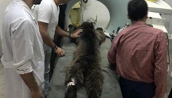 توله خرس دیده شده در زیارت گرگان تلف شد