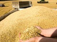 کاهش 18درصدی خرید گندم +جدول
