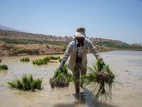 کشت نشاء برنج در چم کنگری مرودشت +عکس