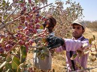 محصولات باغی نیمی از ارزآوری صادراتی را تامین میکند