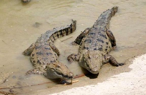 سیلزدگان سیستان و بلوچستان مراقب تمساحها باشند