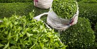نرخ خرید تضمینی برگ سبز چای همچنان بلاتکلیف