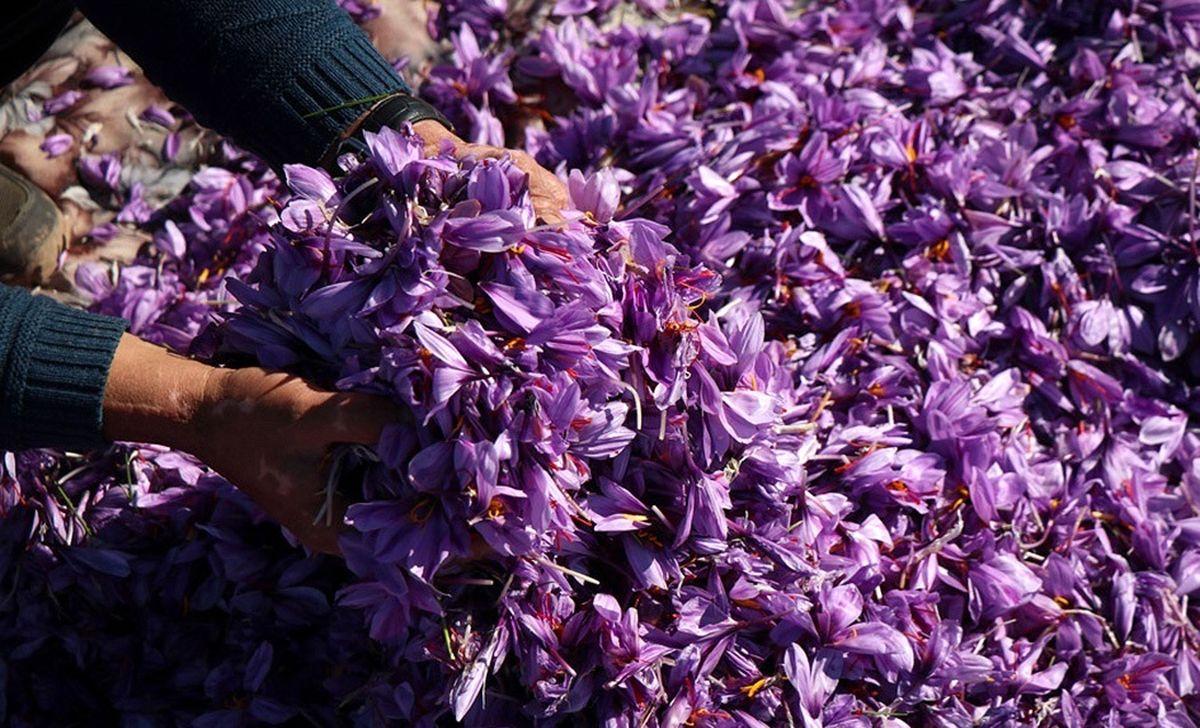 ماجرای تأخیر در معرفی خریداران گل زعفران به بانکها