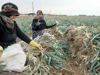 زنان؛ کارگران ارزان بخش کشاورزی