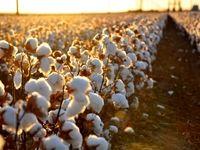 برداشت مکانیزه پنبه در مزارع آمریکا +فیلم