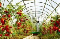 توسعه گلخانههای مرزی ۳۰۰میلیون دلار ارز نصیب کشور کرد/ برنامهریزی برای صادرات ۱۴میلیارد دلاری محصولات گلخانههای مرزی