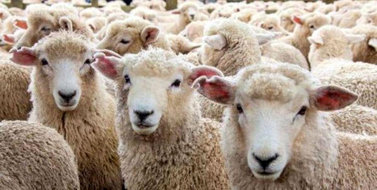 دو راهکار برای تعادل دام و پایداری قیمت گوشت قرمز