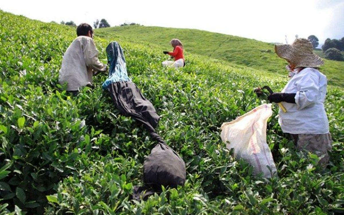 قیمت خرید تضمینی برگ سبز چای  اعلام شد