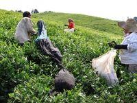 ضوابط خرید برگ سبز چای اعلام شد