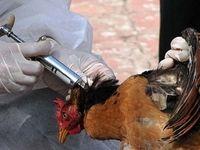10 میلیون دوز واکسن آنفلوانزای پرندگان وارد کشور شده است