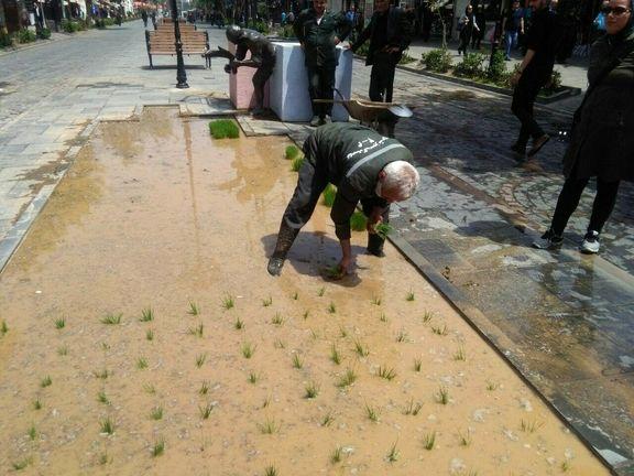 «کاشت نشای برنج» در پیادهراه علمالهدی رشت +عکس