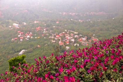 مزرعه گل گاوزبان! +عکس