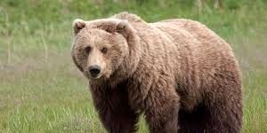 حمله مرگبار خرس قهوهای به پیر مرد میانهای