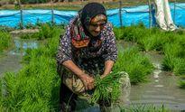 نشاء برنج در « چهاردانگه » ساری +تصاویر