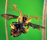 وزنهبرداری یک سوپر مورچه +عکس