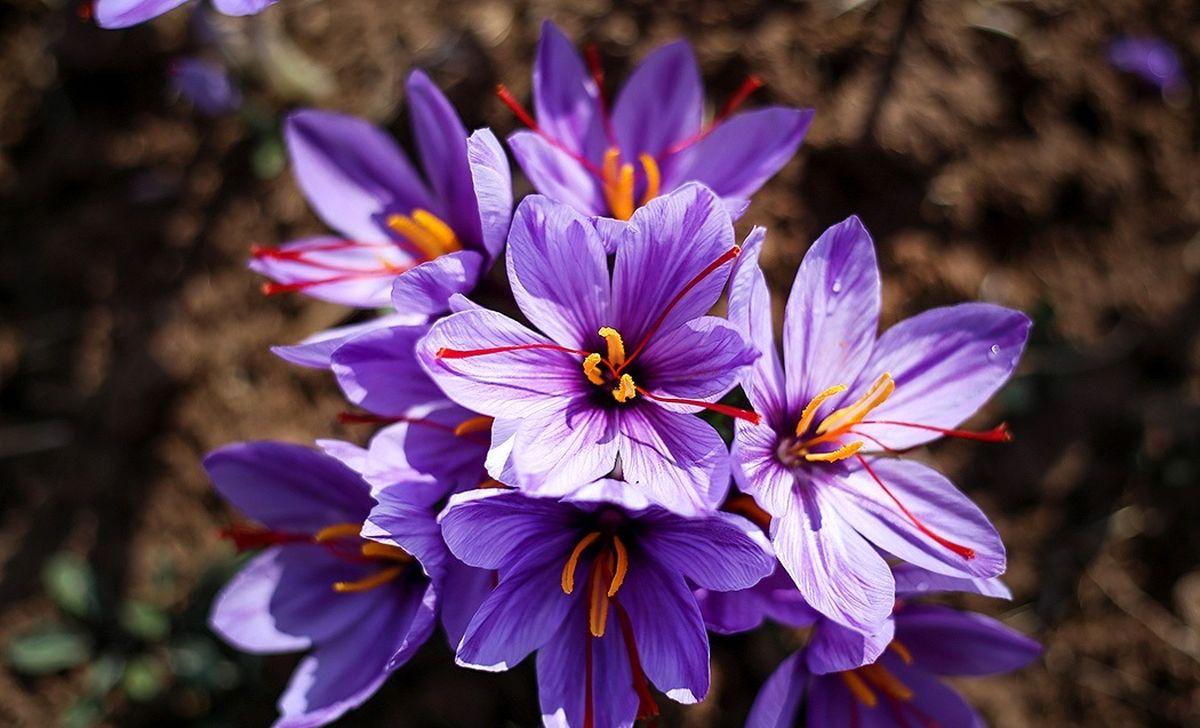 افزایش ۸۰درصدی قیمت انواع زعفران