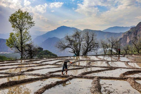 برنجکاری در ترکیه +عکس