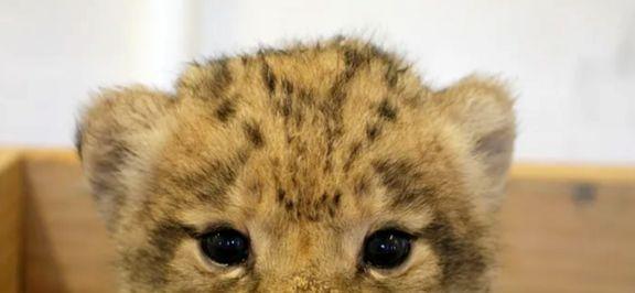 دیدار با شیر شاه واقعی در باغ وحش دالاس +تصاویر