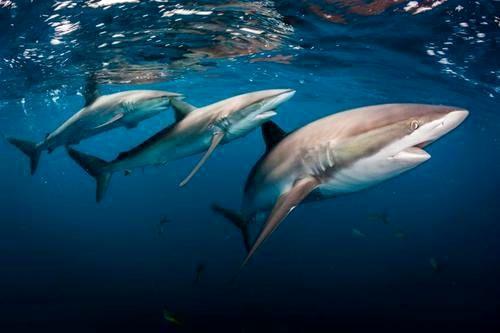 تصویری حیرت انگیز از کوسههای دریای کاراییب