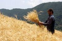 قیمت گندم و خوراک دام کاهش یافت