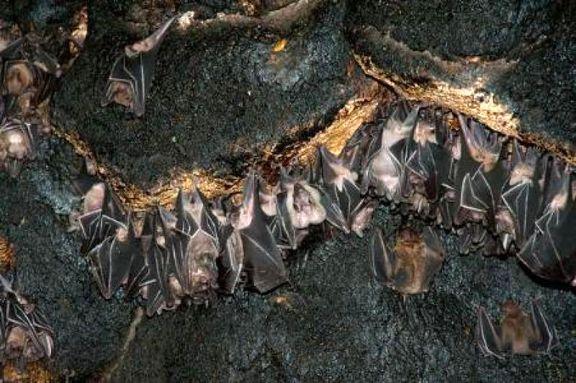 سوداگران «خفاش ها» آفت را به جان کشاورزان انداختند