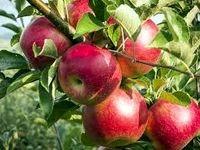 صادرات ۷۰۰هزار تنی سیب درختی