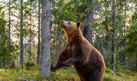 انتقام خرس قهوای از یک مرد بازنشسته روس +عکس