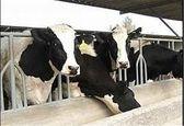 درآمد ماهانه ۸میلیونی با فروش شیر