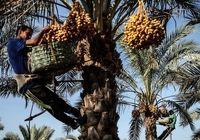 طعم شیرین خرمای بوشهر به کام آفریقای جنوبی