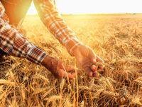 افزایش تولید گندم مرغوب با کمک بورس کالا