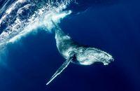 بزرگترین نهنگ خلیج فارس به گل نشست +عکس