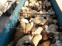 واردات گوساله پای پروار برای عرضه به دامداران/ قاچاقچیان هر کیلوگرم دام زنده سنگین را 5تا 7دلار میفروشند/ هر راس دام سبک قاچاق 60تا 70دینار