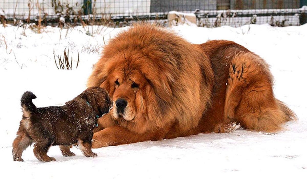 ۱۰ نژاد سگ غول پیکر