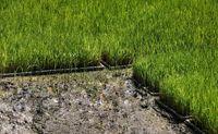 نشاکاری برنج را از نزدیک ببینید + عکس