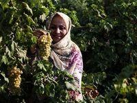 برداشت انگور از تاکستان غزاویه کارون +عکس
