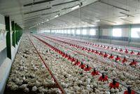 اجرای دستوری قیمت مصوب مرغ اقدامی ضد تولید است