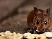 تشریح علت رویت بیشتر موش در پایتخت