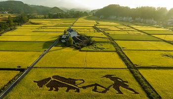 کشت برنج با آب شور در چین