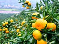 باغ ویلاها؛ کانون آفت مگس مدیترانهای/ باغداران نارنگی هشیارتر باشند